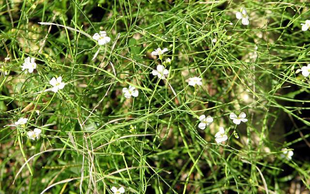 arabidopsis arenosa ssp arenosa
