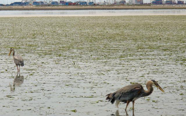 heron eating tsawwassen sized