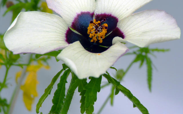 hibiscus bullseye