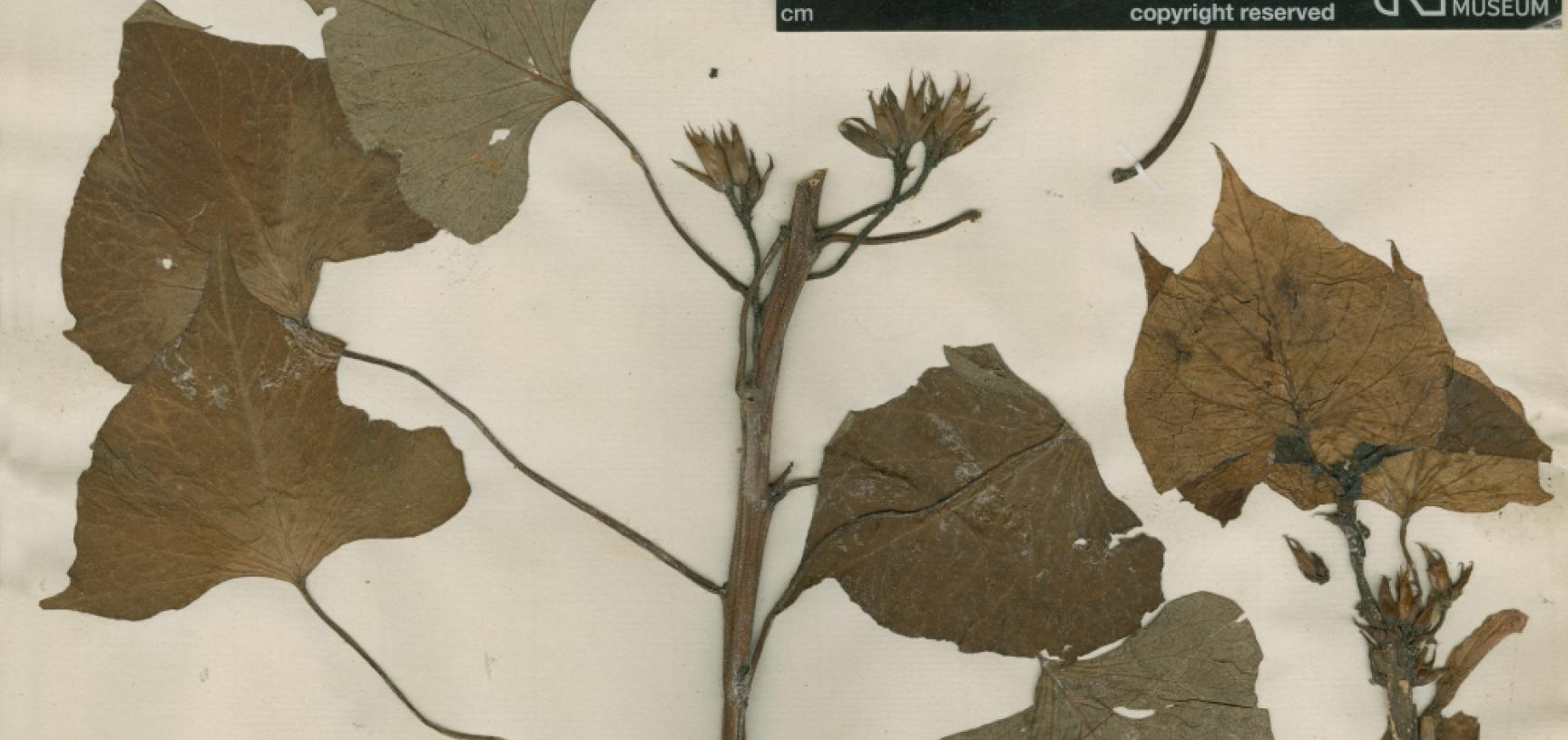 1 sweet potato specimen collected by banks and solander in 1769 from society islands copyright the trustees of the natural history museum of london