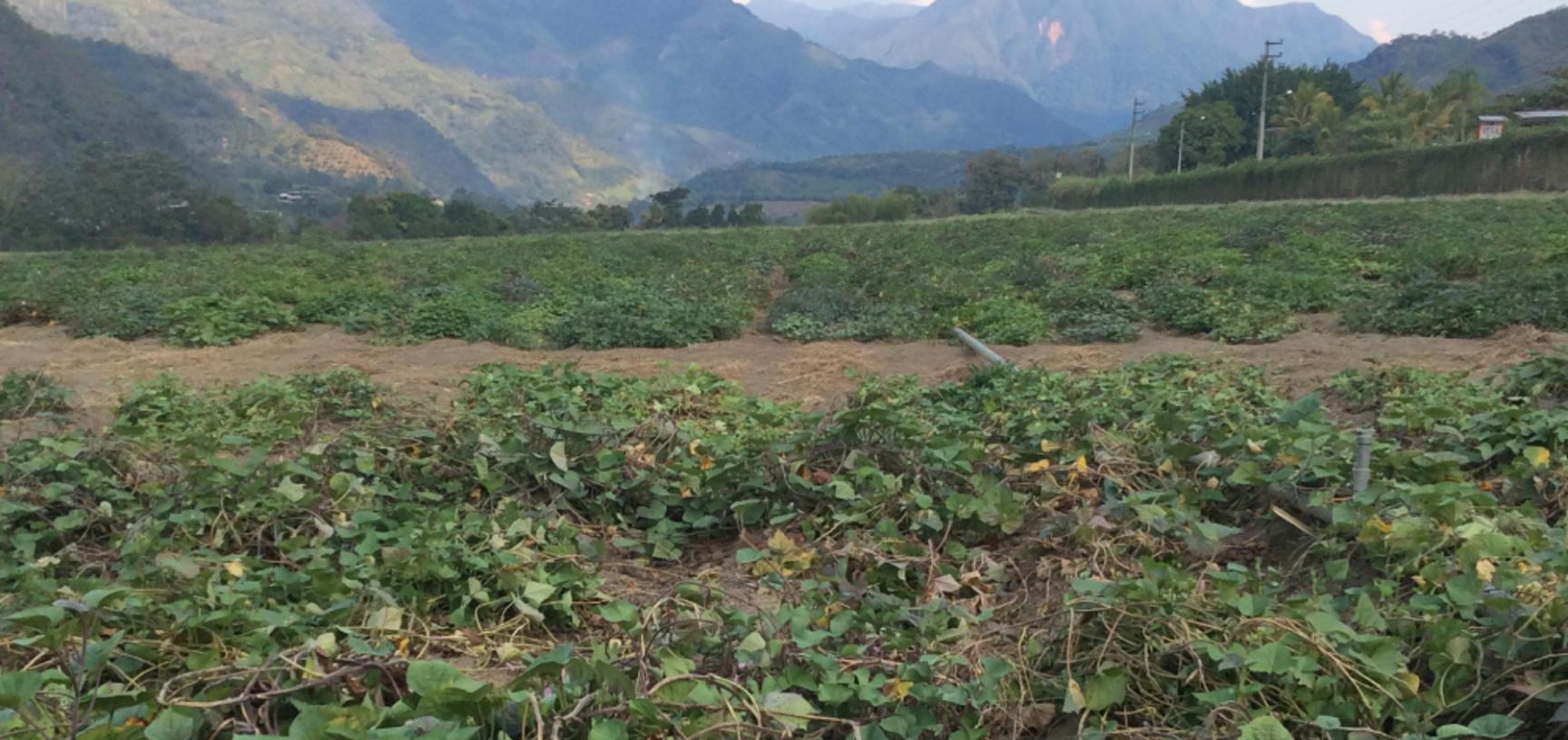 2 sweet potato field in san ramon peru photo by r scotland