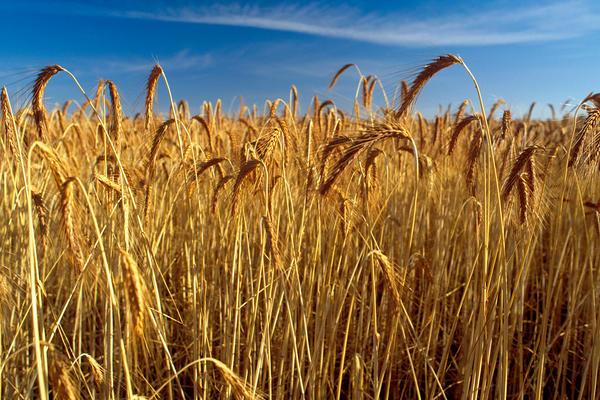 csiro scienceimage 962 wheat crop ready to harvest