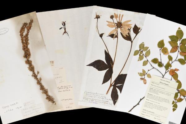 herbaria specimens