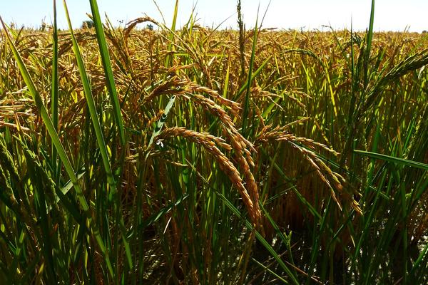 A field of rice crop