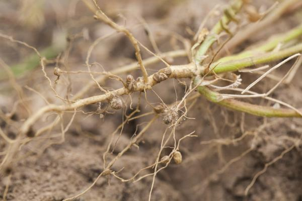 nitrogen fixing nodules in the roots of legumes